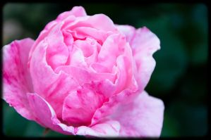 rose by tspargo-photography