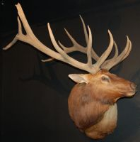 Mounted Elk 2 by SalsolaStock