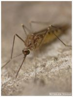 Mosquito 1 by nithilien