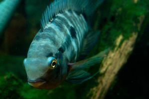 Cichlid by AmbientExposures