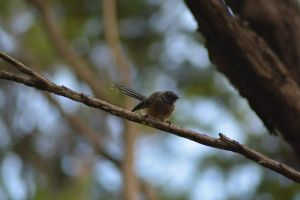 Baby Fantail by idyle