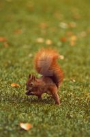 squirrel - Warsaw by cherrilady