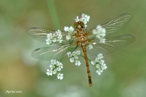 Dragonfly II by tripping-daisy