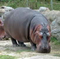 Hippos 2 by SnapeLover