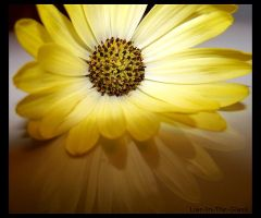 African Daisy I by Liar-In-The-Glass