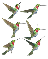 Humming Birds-1 PNG Stock by Roys-Art