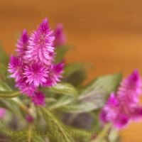 celosia by morettina