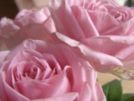 Roses  082 by 3pinkrosegardens