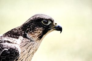 portrait of a falcon by deoroller