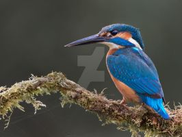 Visions in Blue - Common Kingfisher by Jamie-MacArthur