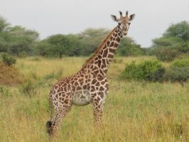 Giraffe by PukiPhotography