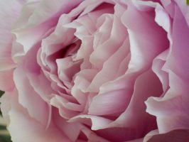 Paeonia suffruticosa 6 by freyiathelove
