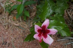 Pretty Hibiscus by CuriouserX10