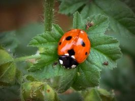 ladybird resting on the lear by danamis