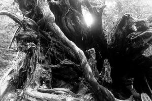Roots by chicxulub
