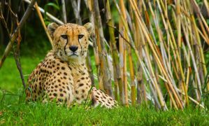 cheetah633 by redbeard31