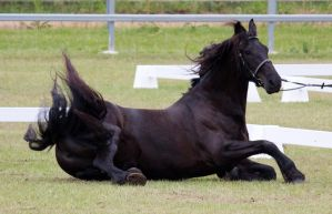 STOCK - Friesian Show 2012-147 by fillyrox
