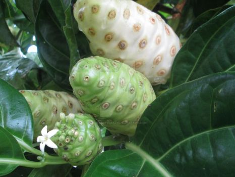 Noni (Indian mulberry) by BlueberryCrazy