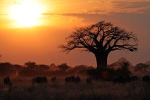 Baobab and Wildebeest by rbwissner