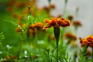 Day 6. Marigold by Anna-Belash
