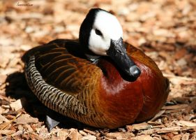 White-Faced Whistling Duck by Innocentium