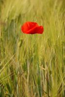 Red Poppy in the cornfield by hoshitsu