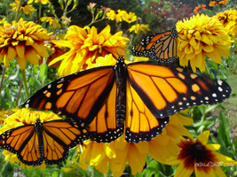 Bright Monarch by foreverlong926