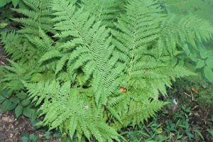 Swamp Fern by cannoneos