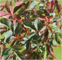 Foliage of Rosa glauca by Kattvinge