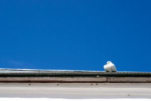 A pigeon on a roof stock by croicroga