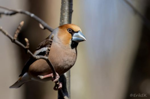 Hawfinch by ErikEK
