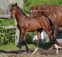 Bay quarter horse foal walk with one leg out by equustock