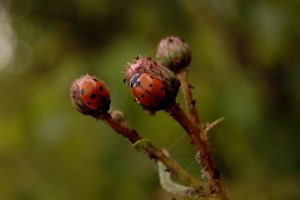 ladybird by rashell-stocks