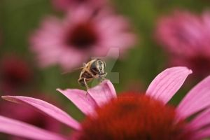 Hoverfly On Petal by twilliamsphotography