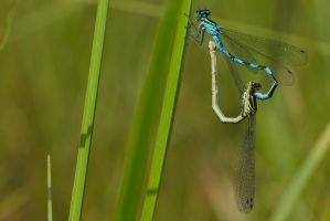 Mating dragonflies by perost