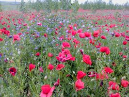 Poppies in Hungary by Mirtus63
