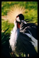 Grey Crowned Crane by sekhmet-neseret
