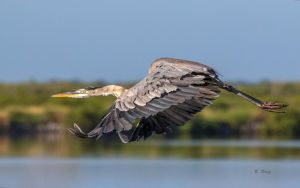 Great Blue Heron II by Grouper
