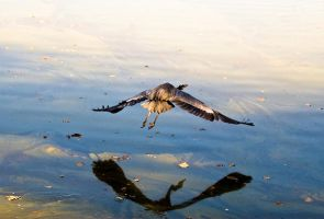 Blue Heron 8 by rdswords