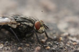 Blow Fly by Azph