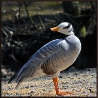 little goose or duck by brijome