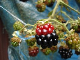 Red Blackberry by deoris