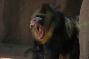 Baboon Fangs by Almighty-Vincent