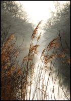 Reeds at the canal by jchanders
