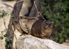 Procavia capensis by DSPHolthaus