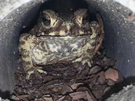 Toad 29Nov2014 by RiverKpocc