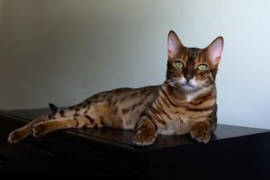Lounging Bengal Cat Stock 20130804-1 by FurLined