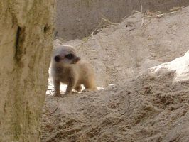 Baby Meerkat Anyone? by JenniferMulkerrin