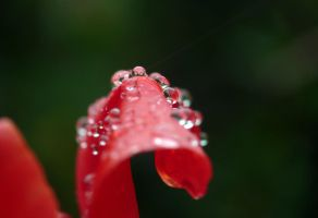 Droplets on tulip leaves by Mad-Popietro