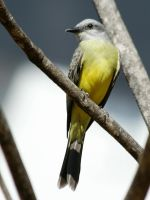 Tropical Kingbird by BrunoDidi